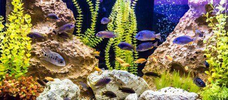 Los peces de acuario también atraen la mala suerte