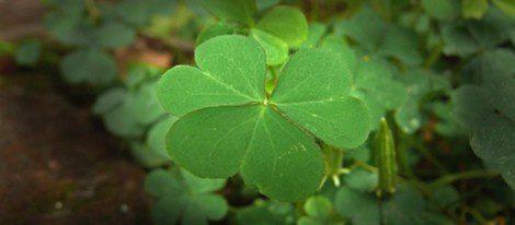Los tréboles de cuatro hojas se utilizan en bisutería