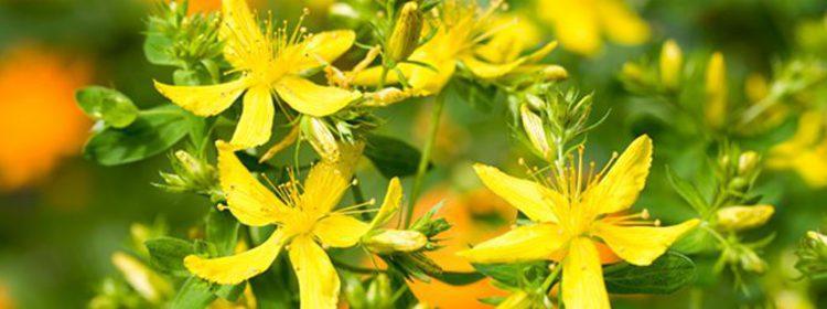 Plantas y flores para rituales mágicos: Salvia, romero, hierba de San Juan y ortiga