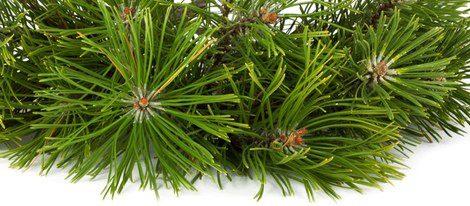 El abeto es un árbol que protege a las embarazadas y al proceso de gestación