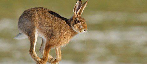 Proviene de la confusión con la liebre, el único mamífero que nace con los ojos abiertos por lo que se le atribuyen cualidades especiales