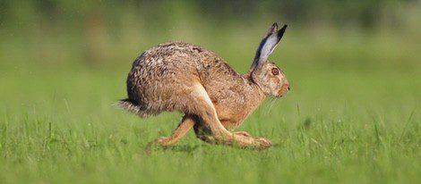 Al correr apoya antes las patas traseras que las delanteras y la trasera izquierda es la elegida para el amuleto
