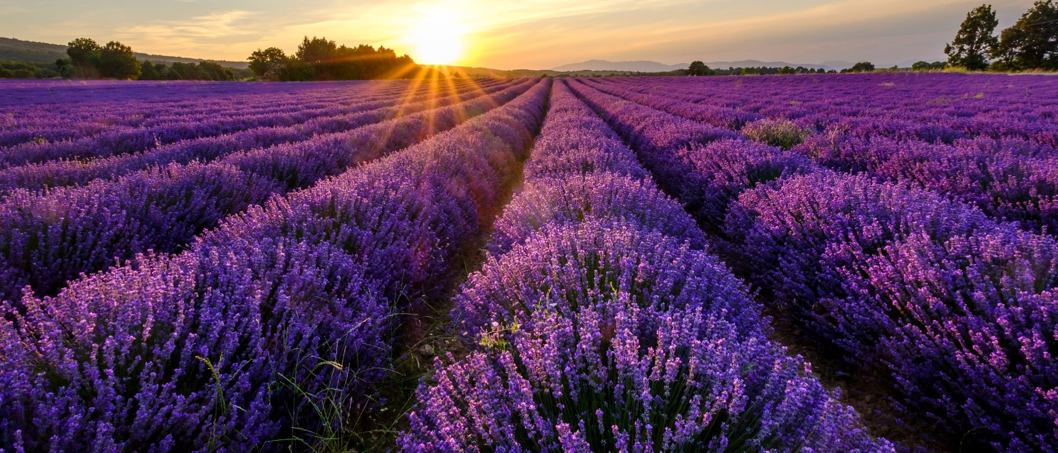 Plantas y flores para rituales mágicos: lavanda, verbena, ruda y tomillo